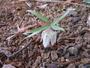 越野コバイモ乾燥気味の場所だが咲いてくれました。